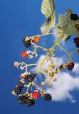 Amora-preta e céu foto de stock