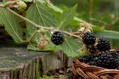 A amora-preta preta deixa o arbusto de amora-preta ao lado de uma cesta Imagens de Stock Royalty Free