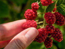Amoras-pretas da colheita no selvagem à mão Foto de Stock Royalty Free