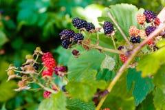 Amoras-pretas de amadurecimento que crescem no macro do jardim imagem de stock