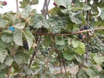 Amoras-pretas nos arbustos Fotos de Stock Royalty Free