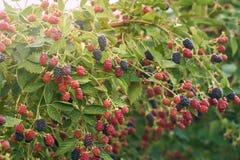 Amoras-pretas orgânicas frescas no arbusto com o lensflare tonificado foto de stock royalty free