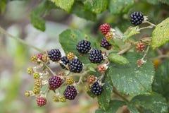 Amoras-pretas que amadurecem no arbusto de amora Imagem de Stock Royalty Free