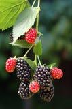 Amoras-pretas saborosos do verão Fotos de Stock Royalty Free