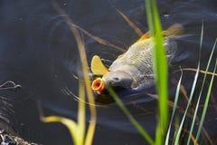 Amorce contagieuse de carpe dans la fin de l'eau  Images libres de droits