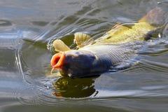 Amorce contagieuse de carpe dans la fin de l'eau  Photographie stock