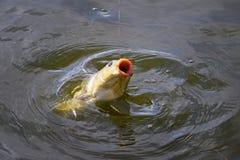 Amorce contagieuse de carpe dans la fin de l'eau  Photo stock