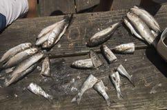 Amorce de coupe de Mullett de doigt prête à pêcher Image stock