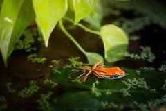 Amorce de grenouille photos libres de droits