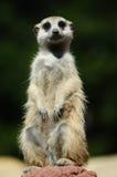 Amorce de Meerkat Image libre de droits