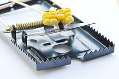 Amorce de piège de souris de fer par la graine de maïs sur le fond blanc Image stock