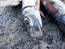 Amorce de poissons d'anchois sur la roche Photo libre de droits