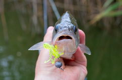 Amorce de silicone de poissons de perche dans sa bouche Photos stock