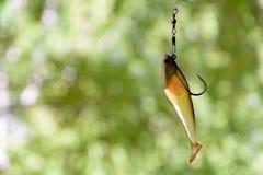 Amorcez l'orientation de verticale du numéro 6 pour les poissons prédateurs contagieux dans les lacs et les rivières Images stock