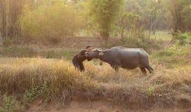 Amore degli agricoltori alla Buffalo Fotografia Stock Libera da Diritti