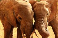 Amore degli elefanti Immagini Stock