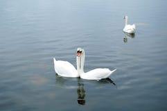 Amore degli uccelli Fotografie Stock