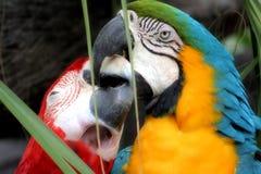 Amore degli uccelli Fotografia Stock