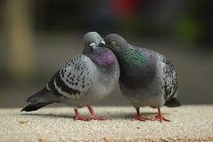 amore del biglietto di S. Valentino di bacio del piccione Immagini Stock Libere da Diritti