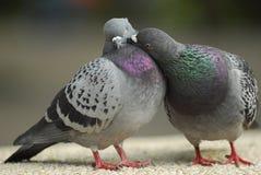 amore del biglietto di S. Valentino di bacio del piccione Fotografia Stock