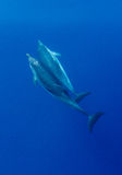 Amore del delfino Fotografie Stock Libere da Diritti