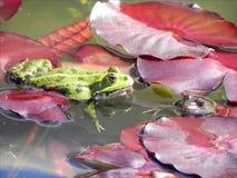 Amore del Froggy Fotografie Stock