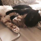 Amore del gatto Fotografie Stock Libere da Diritti
