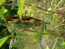 Amore del Mantis Fotografie Stock
