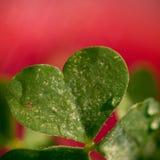 Amore del trifoglio Fotografia Stock