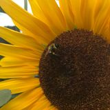 Amore dell'ape immagini stock