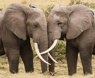 Amore dell'elefante Immagine Stock Libera da Diritti