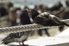 Amore dell'uccello Immagine Stock