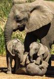 Amore della famiglia dell'elefante Immagine Stock Libera da Diritti