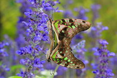 Amore della farfalla immagini stock