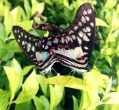 Amore della farfalla Fotografia Stock