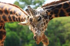 Amore della giraffa Immagini Stock Libere da Diritti
