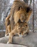 Amore della giungla Fotografia Stock