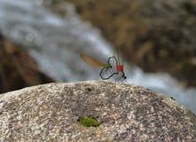 Amore della libellula Fotografie Stock Libere da Diritti