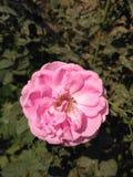 Amore della rosa di rosa Fotografie Stock