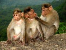 Amore della scimmia Immagini Stock Libere da Diritti