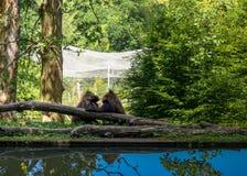Amore della scimmia immagini stock