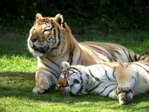 Amore della tigre Fotografie Stock