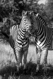 Amore della zebra Fotografia Stock