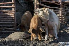 Amore delle carni di maiale Immagine Stock Libera da Diritti