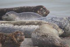 Amore delle guarnizioni che va in giro alle spiagge della costa del Pacifico Fotografia Stock Libera da Diritti
