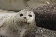 Amore delle guarnizioni che va in giro alle spiagge della costa del Pacifico Fotografie Stock