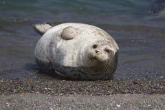 Amore delle guarnizioni che va in giro alle spiagge della costa del Pacifico Fotografia Stock