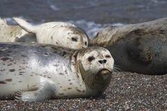 Amore delle guarnizioni che va in giro alle spiagge della costa del Pacifico Immagine Stock