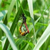 Amore delle libellule Fotografia Stock