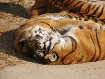 Amore delle tigri Immagine Stock